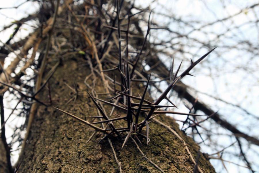 Honey Locust tree on the west trail at Terry Trueblood Recreational
