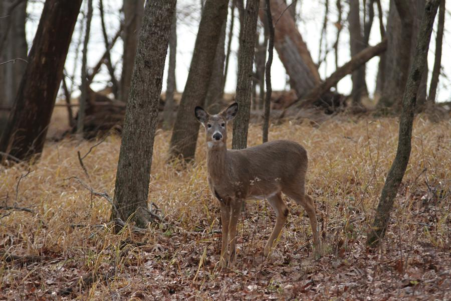 Oh Deer: Deer Population Reaches Record Levels