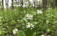 Up close photo of Garlic Mustard showing structure of flower, stem, and leaf.