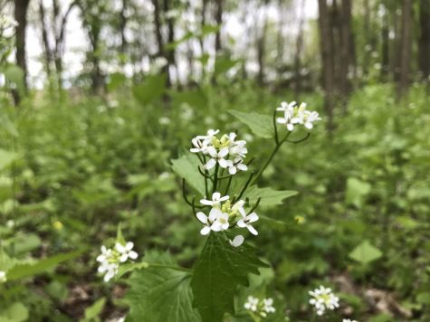 Garlic Mustard Invasion in Iowan Forests